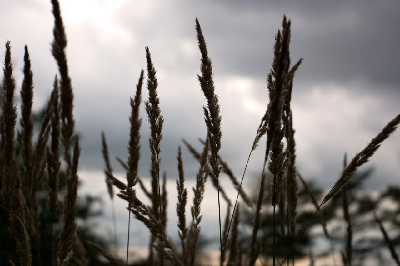 Gräser in der Wahner Heide