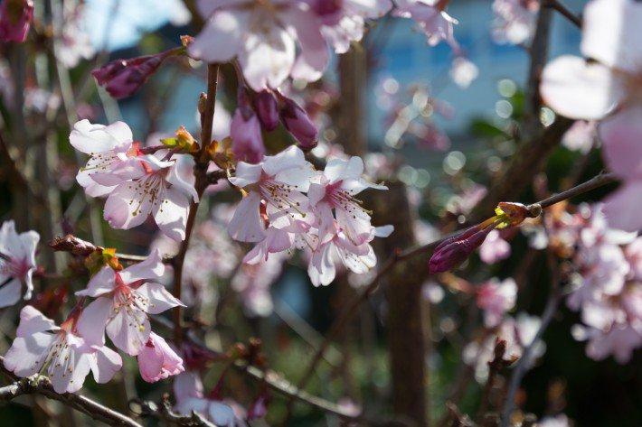 Kirschblüte in Lohmar